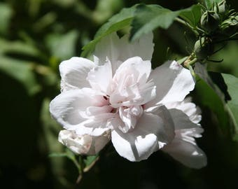 Rose-of-Sharon (2) Stems ~Blushing Bride~ Pink Double Blooms Branches/Tree/Shrub