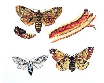 Butterflies Print  - Cossus, Zenzera Butterflies - 1974 Vintage Book Page - World Butterflies Book - 10 x 8
