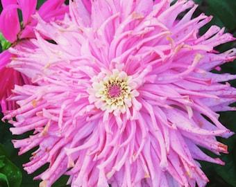 Pink Zinnia Seeds, Cactus Flowered Zinnias, Great for Butterfly Gardens and Cut Flower Gardens