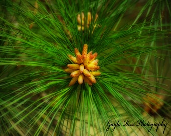 Pine Tree,Woodland Photography,Nature,Forest Photography,Rustic,Spring,Outdoors,Spring blooms,Greeen Decor,Conifer,abstract pine needles