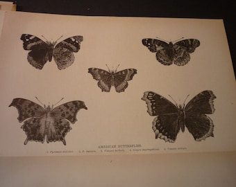 Vintage - American Butterfly etching 5 specimens  1888 etching - detailed prints - Natural world framable - gift for butterfly lovers