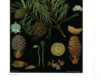 "Vintage Educational Chart Poster Print, Item 5307 Picture Botanical Art, Pine Tree 14"" x 11"""