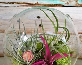 "Air Plant Terrarium 6.5"" table top Glass bubble with moss"