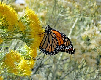 Monarch Butterfly in yellow Chamisa,  5 x 7 Matted Photograph, Butterfly Nature Decor,