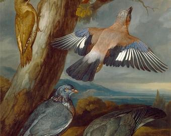 "Francis Barlow : ""Jay, Green Woodpecker, Pigeons and Redstart"" (c1650) - Giclee Fine Art Print"