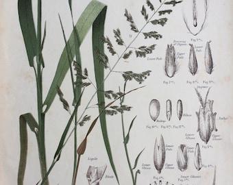 1889 Original Antique Botanical Chromolithograph - Reed Canary Grass - Forage Plants - Botanical Print - Agrostology - Wall Decor