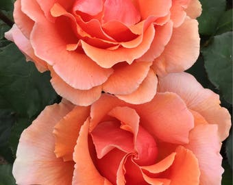 Grammie's Rose Pair I