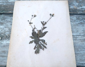 Antique 1900s French herbarium  No name