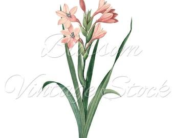 Pink Flowers Digital Image, Antique Illustration INSTANT DOWNLOAD Botanical Digital Image - 1508