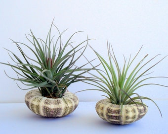 Air Plant Sea Urchin Planter Single