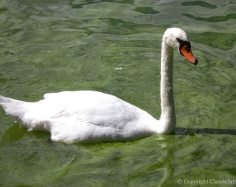 Swan Print, Swan Photo, Swan
