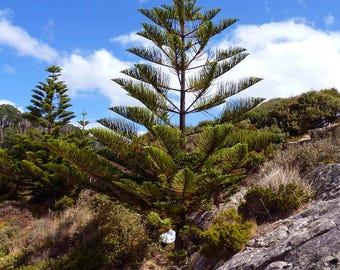 Pining for Tasmania - Digital dowload