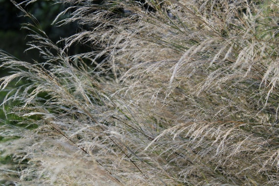 Grasses--matted and framed nature photo