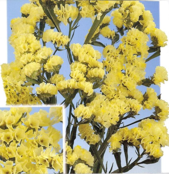 Statice seeds fortress yellow limonium sinuatum great for mightylinksfo