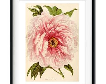 Antique Flower Art Print - Vintage Botanical Pink Peony - Home Wall Art - Vintage Wall Art Print - Pink Flower  - Antique Peony Print