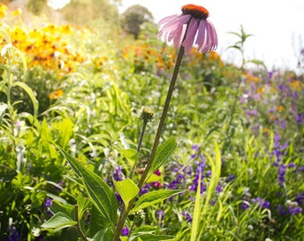 Purple Cone Flower Photography Download