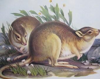 ANTIQUE 1934 AUSTRALIAN Rat Kangaroo - native animal print, drawing, illustration, book page