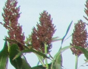 Red Kaoliang sorghum CERTIFIED ORGANIC seed 1 packet (50 seeds)
