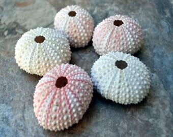 """Pink Sea Urchins (5 pcs.) - (1-2"""") - Echinometra Mathaei"""