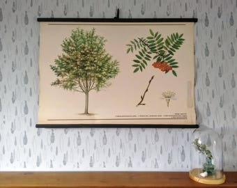 Rowan Tree- Original Vintage School Poster, School Chart, Czechoslovakia, Mountain Ash, Retro pull down chart, biology