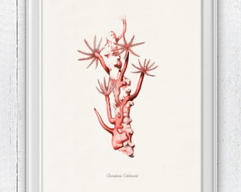 Red choral Clavularia n2 - Antique sealife Illustration - sea life print-Marine  sea life illustration A4 print SWC019