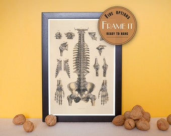"Vintage illustration of ligaments of the head, trunk and upper extremities - framed fine art print, 8""x10"" ; 11""x14"", FREE SHIPPING - 184"