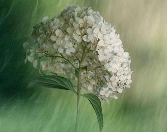Hydrangea Photo Print, Flower Photography Print, Floral Wall Art Print, White, Mint Green Wall Decor, Bedroom Art Print, Barthroom Art