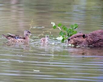 Wood Ducks and Beaver