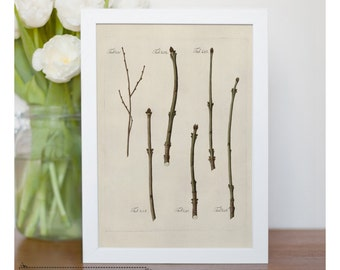 "Vintage illustration of Various Twig Specimens - framed fine art print, botanical art, 8""x10"" ; 11""x14"", FREE SHIPPING - 55"