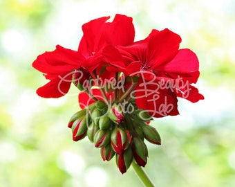 Red Geranium Photography, Macro Flower Photography, Budding Flower, Geranium, Print