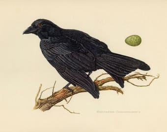 Vintage lithograph of the carrion crow from 1953