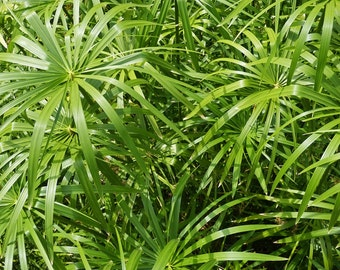 Cyperus , Papyrus , Umbrella Plant 4x cuttings including growing instructions