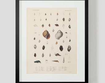 Mollusk Snails and Shells Plate 9