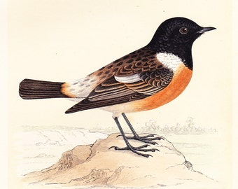ORIGINAL STONECHAT PRINT .  antique bird plate woodblock . dated 1853