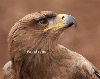 Tawny Eagle, photo, print, art, bird, home decor, photography, wall art, animals, nature photography, free shipping, wildlife, metal