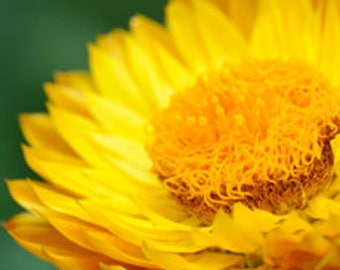 Helichrysum 3% essential oil blend (Immortelle)