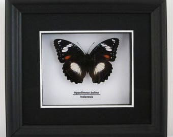 Hypolimnas bolina (The Great Eggfly) Female Taxidermy Butterfly in Matted Shadow Box Frame - Wall Decoration