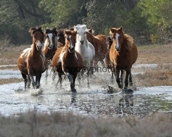 Chincoteague Pony Photograph-Mares During the 2014 Spring Roundup