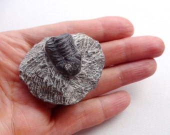Fossilized Trilobite specimen 50x40mm Fossil collectible rocks and minerals ancient Earth stones
