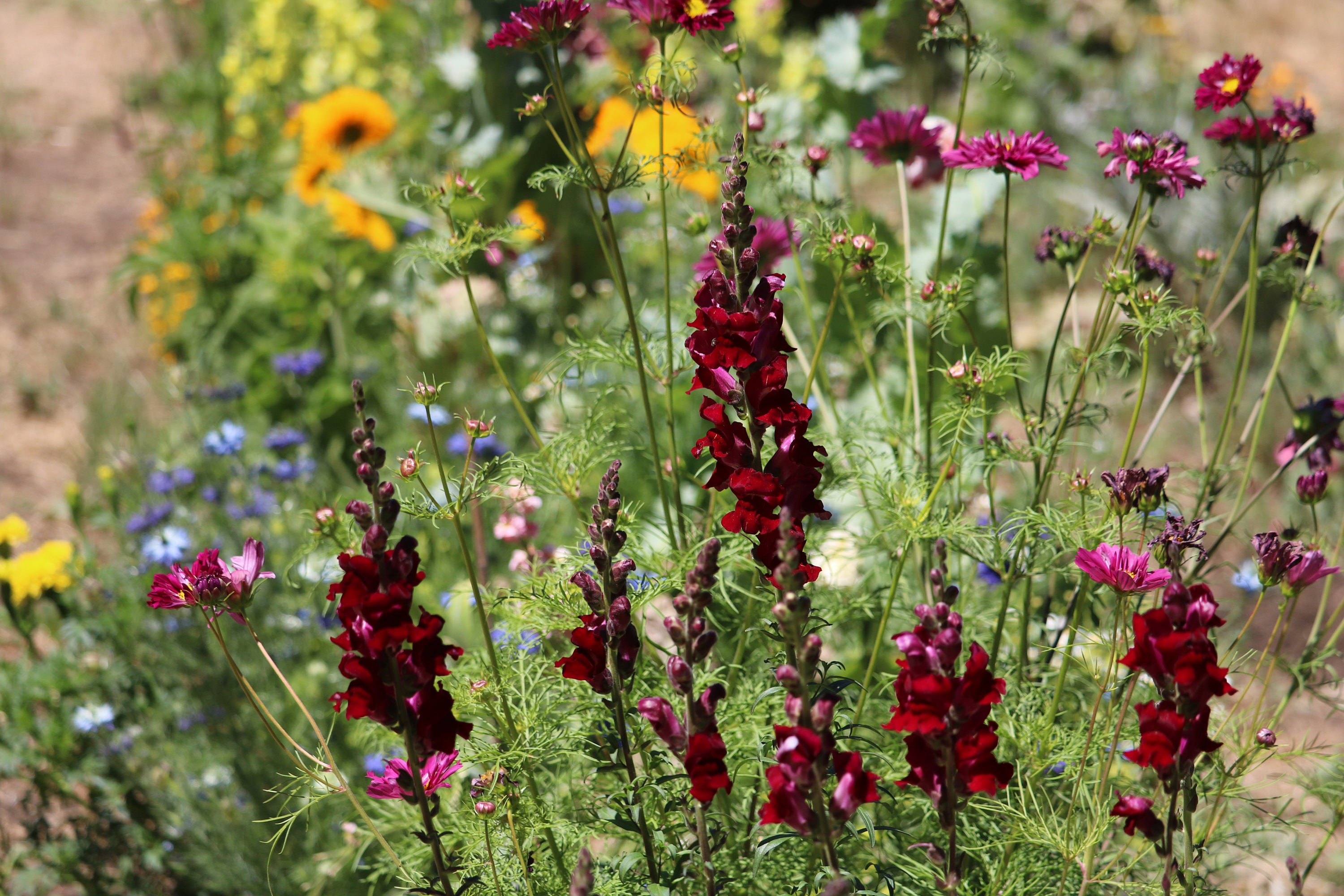 Bright red snapdragon annual flower seeds cut flower seeds 275 izmirmasajfo Choice Image