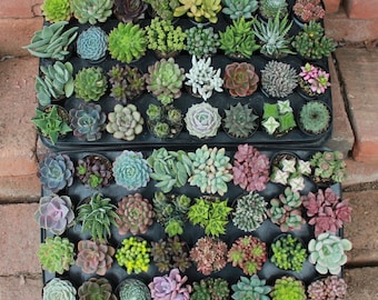 "SAMPLE 5 Assorted Succulents in 2.5"" containers Collection plastic pots succulents great for WEDDING FAVOR & gifts or samples+"