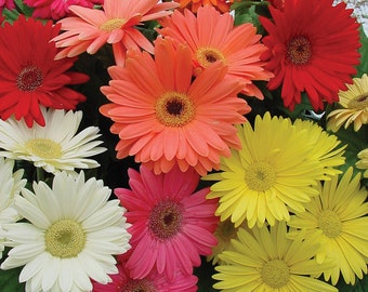 50 Gerbera Daisy Seed (M)