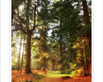 new forest trees - mounted woodland print - 14 x 11 inch mount - woodland photograph - landscape hampshire - autumn photograph - new forest