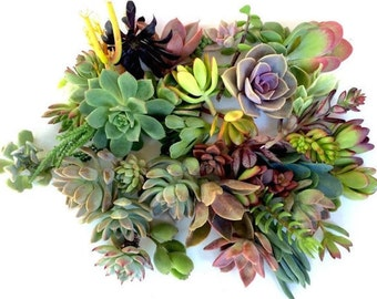 50 succulents cuttings succulent clippings succulent plant cuttings succulents cuttings bulk