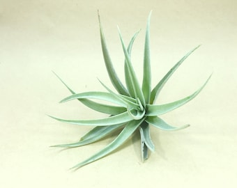 Tillandsia Harrisii Air Plant (large) // Hello Tilly Airplant