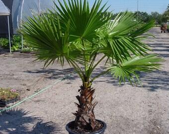 20 Washingtonia Filifera Robusta Palm Tree Seeds, Exotic Tropical Mexican Fan Palm Tree Fresh Live Seeds