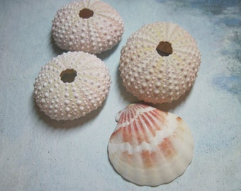 3 Mini Sea Urchins 893 - Light Pink Urchin - Ask for Int'l ship rates