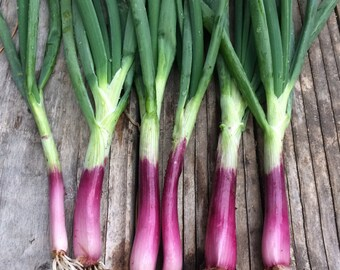 Bunching Onions Deep Purple Open Pollinated Variety with Deep Color Excellent Flavor Rare Seeds