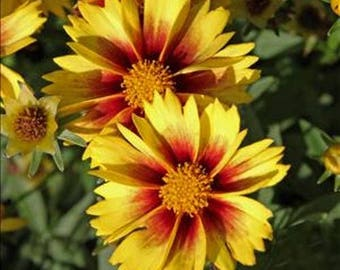 COREOPSIS 'ENCHANGED EVE' - Tickseed.  Perennial.  Plant.
