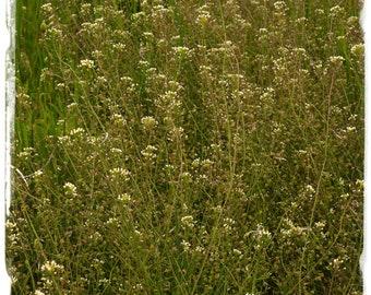 Capsella bursa-pastoris 'Shepherd's Purse' [Ex. Somerset, England] 300+ SEEDS